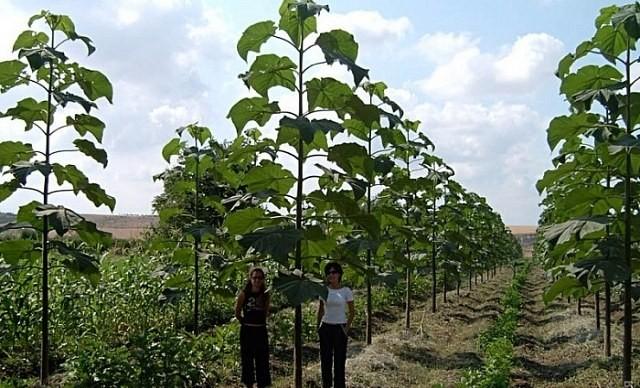Украинские ученые выводят дерево с самым высоким в мире потенциалом роста