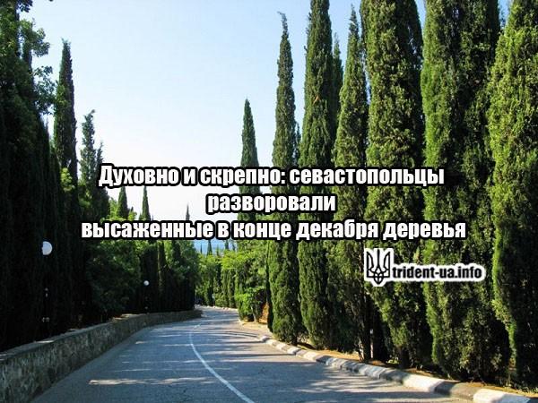 Духовно и скрепно: севастопольцы разворовали высаженные в конце декабря деревья